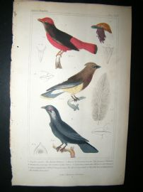 Cuvier C1835 Antique Hand Col Bird Print. The Butcher Chatterer, African Crown Bird, Swallow Crown Bird, 18